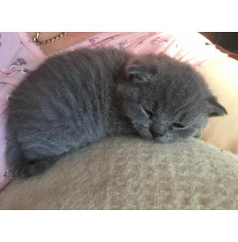 SOLD - British Shorthair Kittens - Solid Blue and Blue Bi- Colour