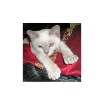 PUREBRED TONKINESE KITTENS, REG BREEDER - Lilac Point kitten