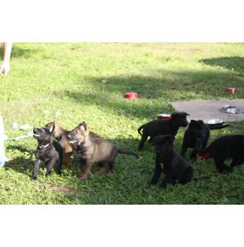 Extreme Working line German Shepherds - Beautifully Bred GSD puppies