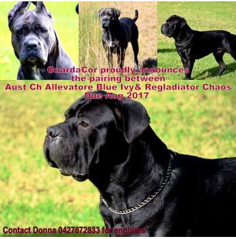 Cane Corso Puppies due Aug 2017