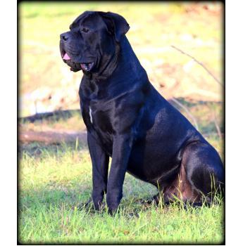 Cane Corso Puppies due Aug 2017 - Redgladiator Chaos