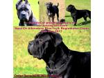 For Sale Cane Corso Puppies due Aug 2017