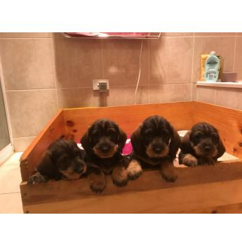 Standard Wirehair Dachshund Puppies - Four out of five at 6 weeks