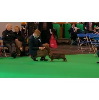 Standard Wirehair Dachshund Puppies - Sire