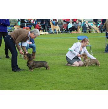 Standard Wirehair Dachshund Puppies - UK Ch. Zlowfox Av Larhjelm at Sunsong
