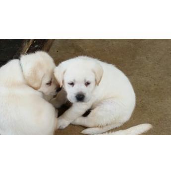 pedigree papered labrador puppies