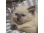 For Sale Ragdoll kittens
