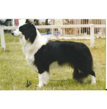 PURE BRED BORDER COLLIE PUPPIES - Dad