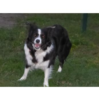 PURE BRED BORDER COLLIE PUPPIES - Mother