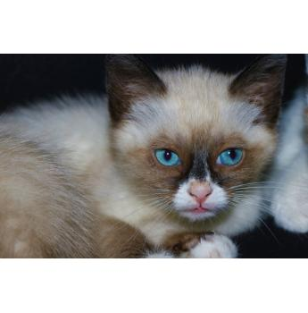 Stunning Rare Snowshoe Kitten