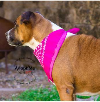 QLD - Bindi (f/6y) - Female Boxer