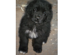 For Sale Newfoundland Puppies