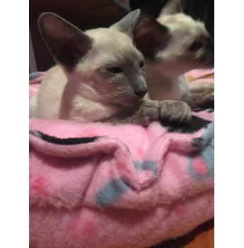 MALE BLUE POINT SIAMESE