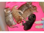 For Sale Ocicat Kittens from Oz Catz