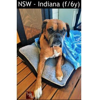 NSW - Indiana (f/6y) - Large Female Boxer