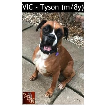 VIC - Tyson (m/8y) -Medium Male Boxer