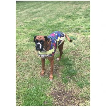 VIC - Tyson (m/8y) -Medium Male Boxer