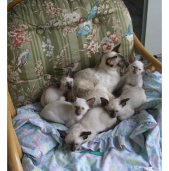 SIAMESE AND ORIENTAL KITTENS - SIAMESE AND ORIENTAL KITTENS SOMETIMES AVAILABLE