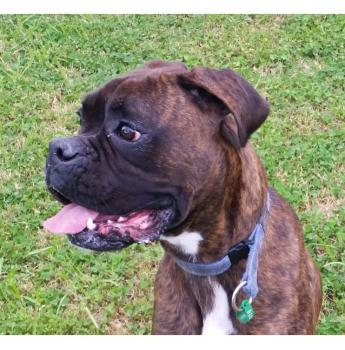 VIC - Hurley (m/1y) - Male Boxer