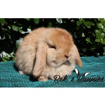 Rabbit - mini lop