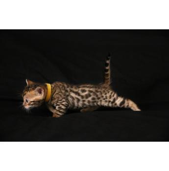 ENVE Bengal kittens  - yellow boy