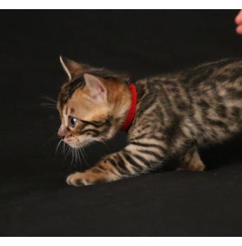ENVE Bengal kittens  - red boy