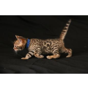 ENVE Bengal kittens  - blue boy