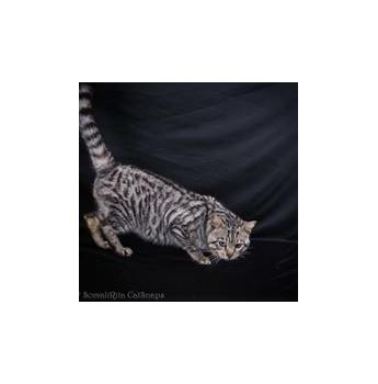 Toyger Kittens - Power my beautiful stud boy
