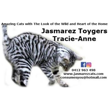 Toyger Kittens - Power My Toyger Stud