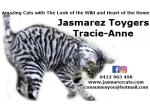 For Sale Toyger Kittens