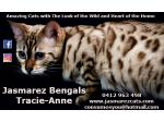 For Sale Jasmarez Bengal Kittens