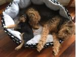 For Sale Airedale Terrier Puppies