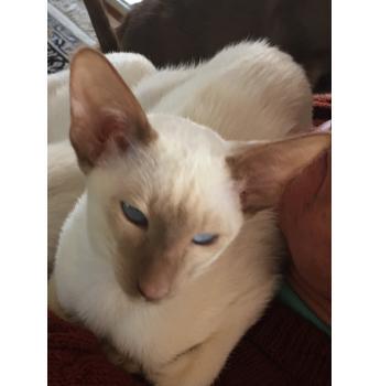 Siamese Cinnamon point kitten  - Jindo Esther