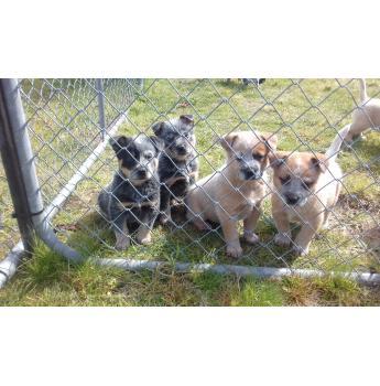 Australian Cattle Dog Puppies  - 2 red boys