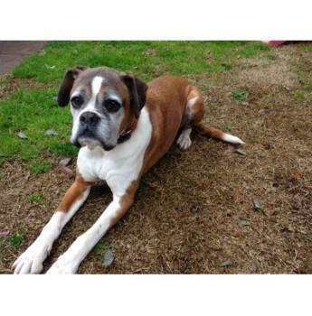 VIC - Mr Winston Butterworth (m/6y) - Large Male Boxer