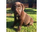 For Sale Labrador Retriever Puppies