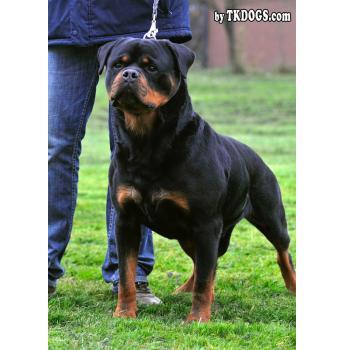 Rottweiler Puppies - Grandfather - Astor Von Junipera (World Champion)