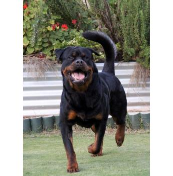 Rottweiler Puppies - Father - Rottsdale Irish Connection - CONAN