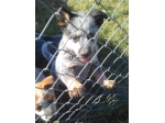 For Sale Australian Cattle Dog Puppy