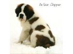 For Sale St Bernard Puppies