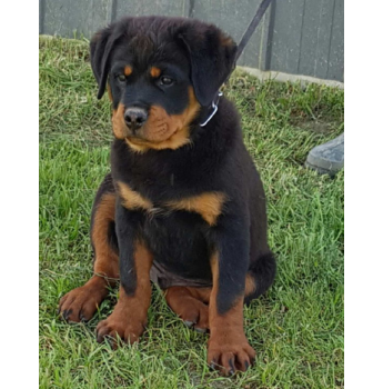 Rottweiler Puppies - Pup from previous litter