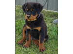 For Sale Rottweiler Puppies