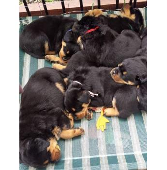 Rottweiler Pups - Rottweiler puppies for sale