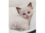 For Sale Chocolate Bicolour Boy - Ragdoll kitten
