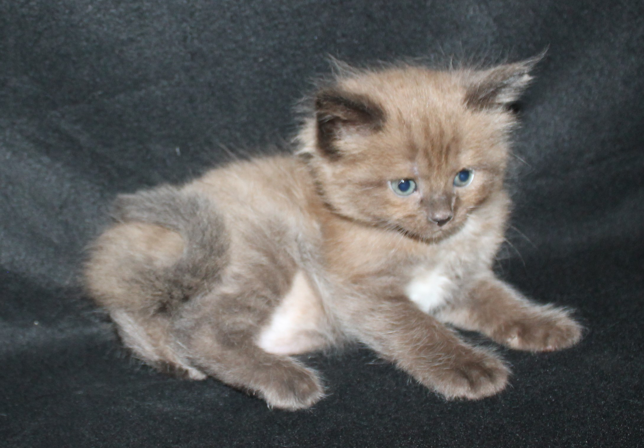 Ragdoll kittens For Sale, Hartley, Lithgow NSW