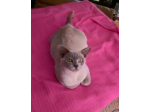 For Adoption Available Now - Violet - Lilac Burmese Cat Natmac Burmese Cats Perth WA