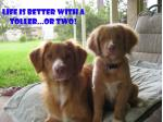 For Sale Nova Scotia Duck Tolling Retriever puppies