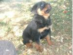 For Sale Natural Born Bobtail Rottweiler Puppies and Tailed Puppies