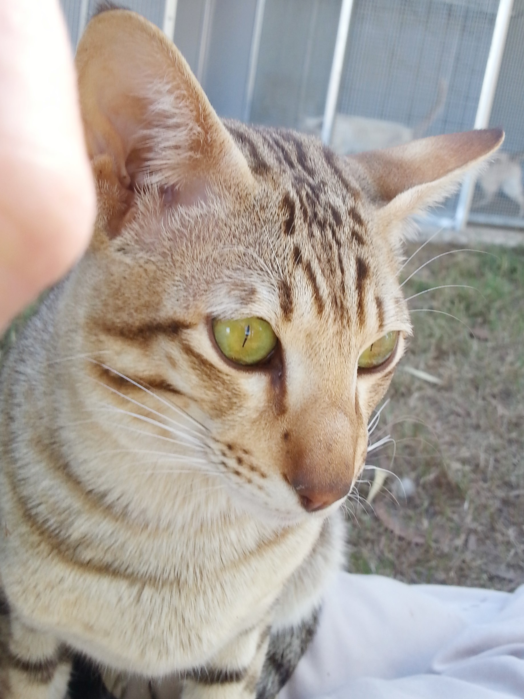 Cato - Chocolate Spotted Tabby Oriental Male gallery image
