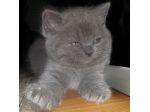 For Sale British Shorthair Kittens